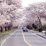 三重県木曽岬町の1500本の桜トンネル